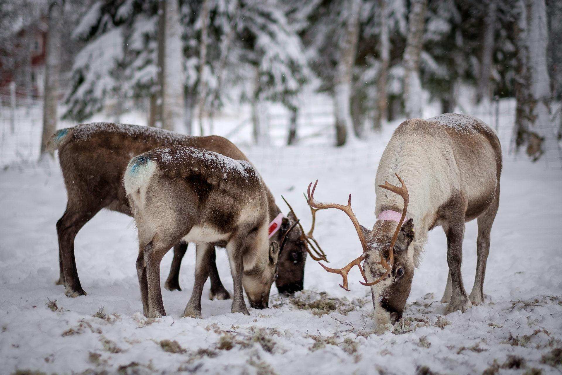 Visit reindeer in Jämtland